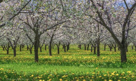 """Cherry Pick Your Subjects"" – A Day in the Orchards"