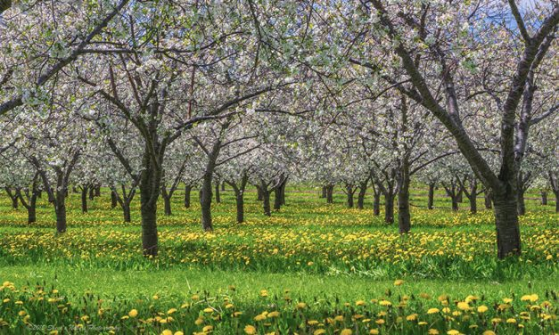"""""""Cherry Pick Your Subjects"""" – A Day in the Orchards"""